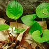 Viola blanda- Sweet White Violet
