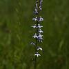 Spike Lobelia (Lobelia spicata)