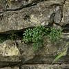 Wall Rue (Asplenium ruta-muraria)