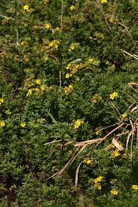 Shrubby Cinquefoil (Potentilla fruticosa)
