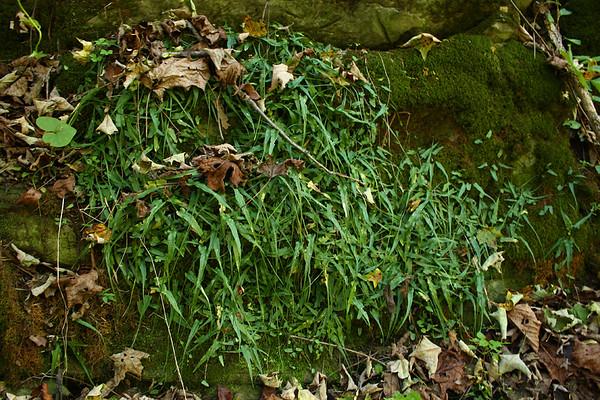 Asplenium rhizophyllum- Walking Fern