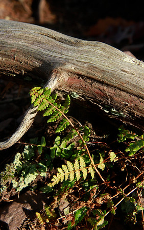 Woodsia ilvensis- Rusty Woodsia
