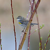 Yellow-rumped Warbler (Dendroica coronata), Fairview Wetlands Mitigation Project, Salem Oregon