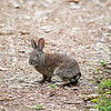 Brush Rabbit (Sylvilagus bachmani), Fairview Wetlands Mitigation Project, Salem Oregon
