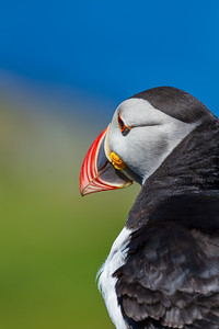 Puffin on Treshnish