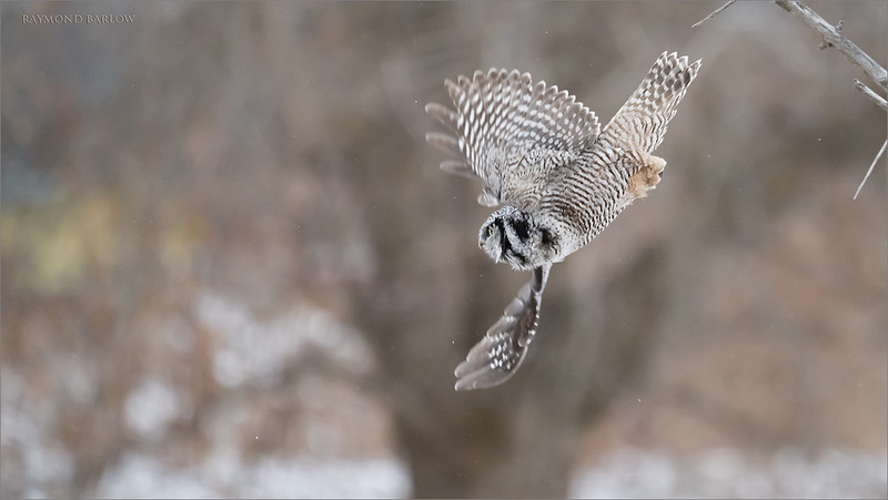 "Another quick take off shot with the hawk owl.  iso 4000, and a nice job by the A7r4 to carry some sweet resolution after processing out the noise.  <br /> This bird is so fast, I am happy to catch any king of flight shot!<br /> Hope to go back this weekend!<br /> <br /> <br /> Northern Hawk Owl Lift Off!<br /> Ontario, Canada<br /> <br />  <a href=""http://www.raymondbarlow.com"">http://www.raymondbarlow.com</a><br /> Sony Alpha α7R IV ,Sony 100-400GM<br /> 1/2000s f/5.6 at 400.0mm iso4000"
