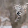 """Another quick take off shot with the hawk owl.  iso 4000, and a nice job by the A7r4 to carry some sweet resolution after processing out the noise.  <br /> This bird is so fast, I am happy to catch any king of flight shot!<br /> Hope to go back this weekend!<br /> <br /> <br /> Northern Hawk Owl Lift Off!<br /> Ontario, Canada<br /> <br />  <a href=""""http://www.raymondbarlow.com"""">http://www.raymondbarlow.com</a><br /> Sony Alpha α7R IV ,Sony 100-400GM<br /> 1/2000s f/5.6 at 400.0mm iso4000"""