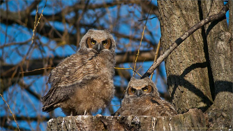 Raymond's Photo Workshops!<br /> <br /> Great Horned Owl chicks<br /> Raymond's Ontario Nature Photography Tours<br /> ray@raymondbarlow.com<br /> Nikon D800 ,Swarovski Spotting Scope 95 mm<br /> 1/1250s f/9.5 iso400