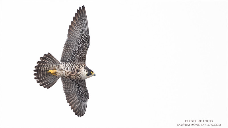 Peregrine Falcon in Flight<br /> Raymond Barlow Photo Tours to USA - Wildlife and Nature<br /> <br /> Peregrine Tours<br /> ray@raymondbarlow.com<br /> Nikon D810 ,Nikkor 600 mm f/4 ED<br /> 1/1250s f/5.0 at 600.0mm iso1000