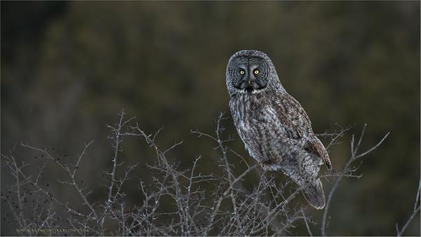 Great Gray Owl RJB Wild Birds of Ontario Workshops  ray@raymondbarlow.com Nikon D800 ,Nikkor 200-400mm f/4G ED-IF AF-S VR 1/200s f/4.0 at 380.0mm iso200