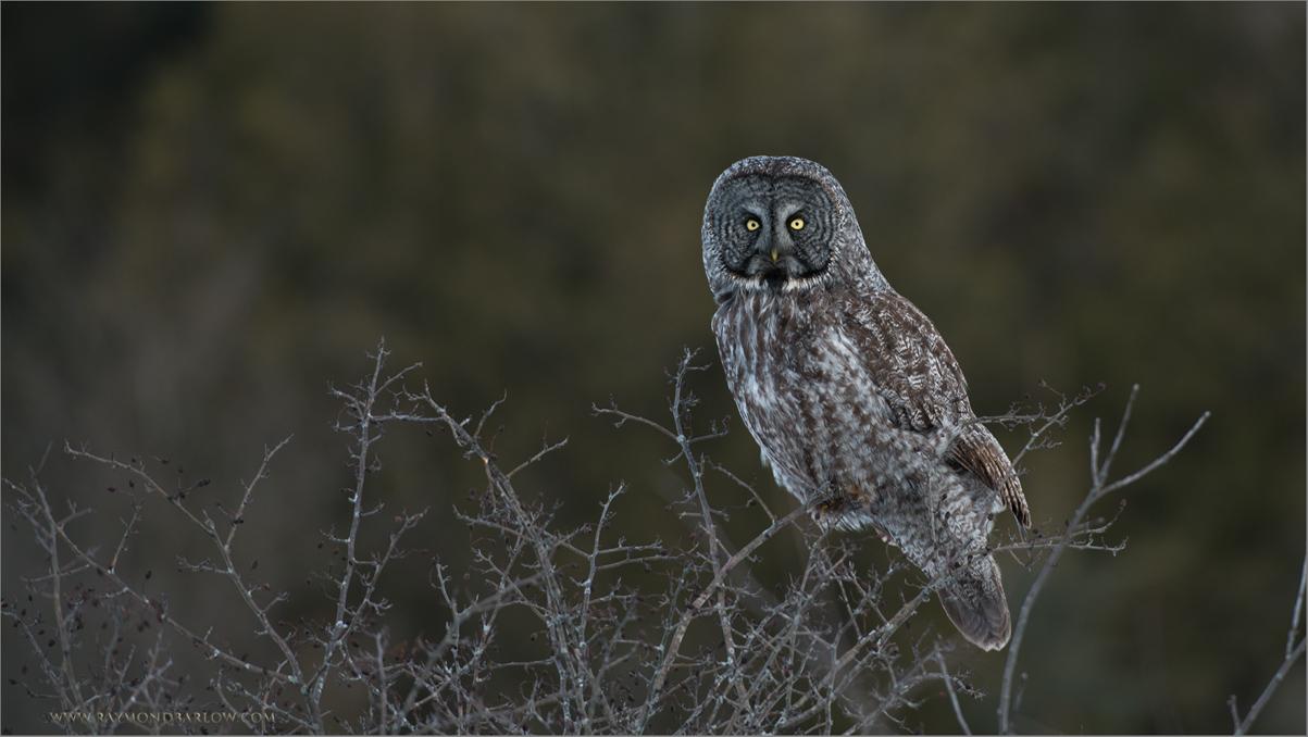 Great Gray Owl<br /> RJB Wild Birds of Ontario Workshops<br /> <br /> ray@raymondbarlow.com<br /> Nikon D800 ,Nikkor 200-400mm f/4G ED-IF AF-S VR<br /> 1/200s f/4.0 at 380.0mm iso200