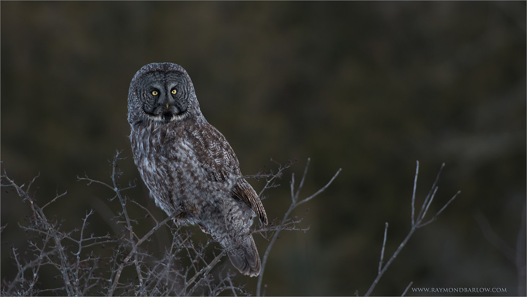 """A little Dark! <br /> <br /> Special thanks to all who share my images.!!<br /> <br /> Looking forward to raptor season, and booking private workshops to photograph these beauties once again here in Ontario.  <br /> Have a good week.<br /> <br /> Great Gray Owl<br /> RJB Wild Birds of Ontario Workshops<br />  <a href=""""http://www.raymondbarlow.com"""">http://www.raymondbarlow.com</a><br /> 1/800s f/4.0 at 380.0mm iso800"""