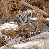 """In a fast attempt to get out of the marsh, and save the owls catch, he lifts off and power down-strokes to get elevated quickly.  with relatively short stocky wings this takes a lot of power and wing speed.  <br /> <br /> He was up and away in a big hurry!<br /> <br /> Northern Hawk Owl Downstroke<br /> Ontario, Canada<br /> <br />  <a href=""""http://www.raymondbarlow.com"""">http://www.raymondbarlow.com</a><br /> Sony Alpha α9 ,Sony 100-400GM<br /> 1/3200s f/5.6 at 400.0mm iso2000"""