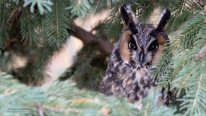 Long-eared owl<br /> GTA<br /> <br /> Amazing to see this beautiful owl, only 4 feet off the ground!  Thanks to Philip Dunn and Steve Rossi for the help in finding this one!  Awesome view in sweet light.<br /> <br /> Tamron 150-600 g2<br /> a7r4 Sony<br /> Jobu tripod and Gimbal