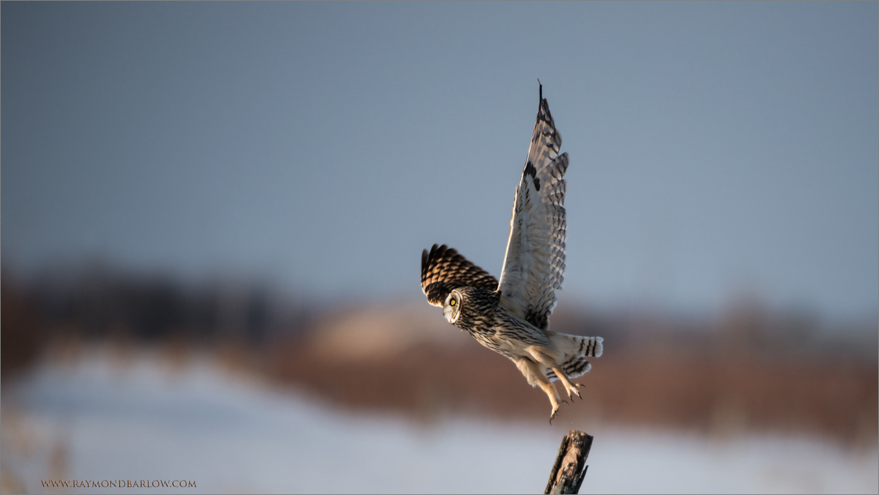 """Owl Lift Off!   + Raptors Workshops<br /> <br /> This short-eared owl took off looking for a vole in the snow yesterday evening, while my daughter Maria and I watched in amazement. <br /> <br /> They hover over the snow, listen closely for the critters to squeak, then dive in to catch them for dinner.  As much as 14"""" of snow, and they still were able to successfully find food.<br /> <br /> We saw at least 40 dives, and at least 5 voles captured.  Real nature is superb to watch and enjoy!  On our return trip tonight, we did not see any owls, but enjoyed the challenge, and very happy with what we have seen this past winter.<br /> <br /> This weekend.. 3 Raptor in Flight workshops here in Ontario, Canada, still room in each one for you!  Email - ray@raymondbarlow.com<br /> <br /> Please enjoy and respect nature.<br /> <br /> Thanks to everyone for all the likes, comments, and shares  on Google+.  Over 10 million views in February!<br /> <br /> Best wishes to you!"""