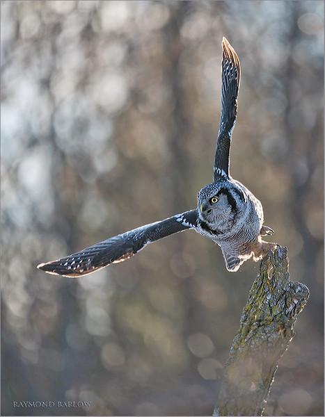"""Northern Hawk Owl in Flight 1<br /> Ontario, Canada<br /> <br />  <a href=""""http://www.raymondbarlow.com"""">http://www.raymondbarlow.com</a><br /> Sony Alpha A9,Sony 100-400GM<br /> 1/3200s f/5.6 at 400.0mm iso1250"""