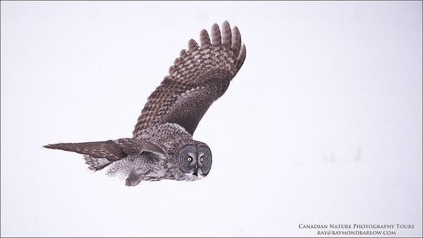 Great Grey Owl in Flight Raymond's Canada Nature Photography Tours  www.raymondbarlow.com Nikon D810 ,Nikkor 200-400mm f/4G ED-IF AF-S VR 1/2000s f/4.0 at 280.0mm iso800
