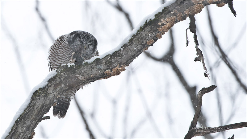Northern Hawk Owl with lunch.<br /> <br /> Amazing to watch real nature - No Bait. Sit and wait!<br /> <br /> After 2.5 hours of watching this owl sleep, it decided to look for a meal. Jumping from tree to tree, searching the food that it has stored in its cache, the owl pulled out a vole, and began to eat.<br /> <br /> These owls have a habit of tearing off the head first, then finishing the rest in one gulp! Awesome to watch and witness the real thing.<br /> <br /> Superb Nature.<br /> <br /> raymond's tours.