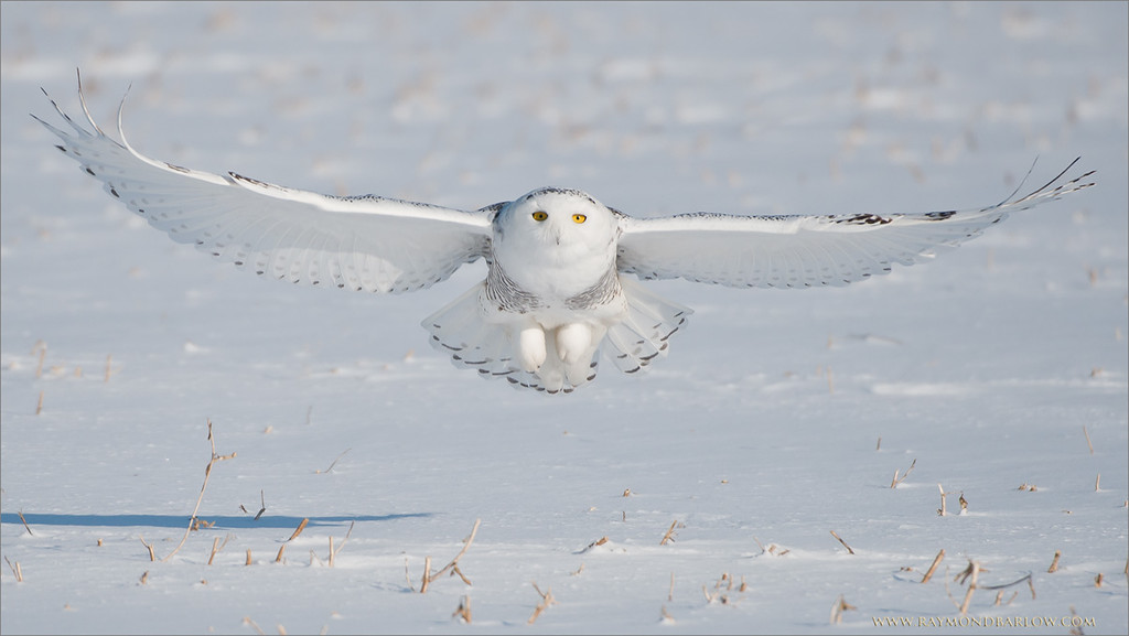"""Snowy Owl in Flight Head On<br /> RJB Ontario Bird Photography Tours<br /> <br />  <a href=""""http://www.raymondbarlow.com"""">http://www.raymondbarlow.com</a><br /> ray@raymondbarlow.com<br /> Nikon D800 ,Nikkor 200-400mm f/4G ED-IF AF-S VR<br /> 1/5000s f/4.0 at 400.0mm iso250"""