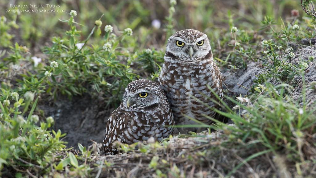 Burrowing Owls - Florida<br /> Raymond Barlow Photo Tours to USA - Wildlife and Nature<br /> <br /> ray@raymondbarlow.com<br /> Nikon D810 ,Nikkor 600 mm f/4 ED<br /> 1/60s f/8.0 at 600.0mm iso200