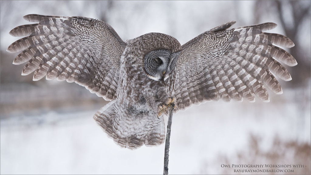 Great Grey Owl - Eyes Wide Shut<br /> Raymond's Canada Nature Photography Tours<br /> <br /> Raymond's Owl Tours<br /> ray@raymondbarlow.com<br /> Nikon D810 ,Nikkor 200-400mm f/4G ED-IF AF-S VR<br /> 1/2000s f/5.6 at 300.0mm iso1250