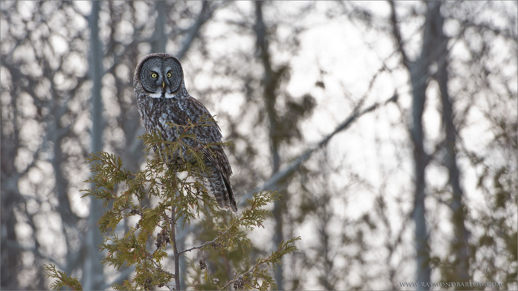 """Great Gray Owl Hunting<br /> Raymond's Ontario Nature Tours<br /> <br />  <a href=""""http://www.raymondbarlow.com"""">http://www.raymondbarlow.com</a><br /> ray@raymondbarlow.com<br /> Nikon D800 ,Nikkor 200-400mm f/4G ED-IF AF-S VR<br /> 1/200s f/6.3 at 400.0mm iso250"""