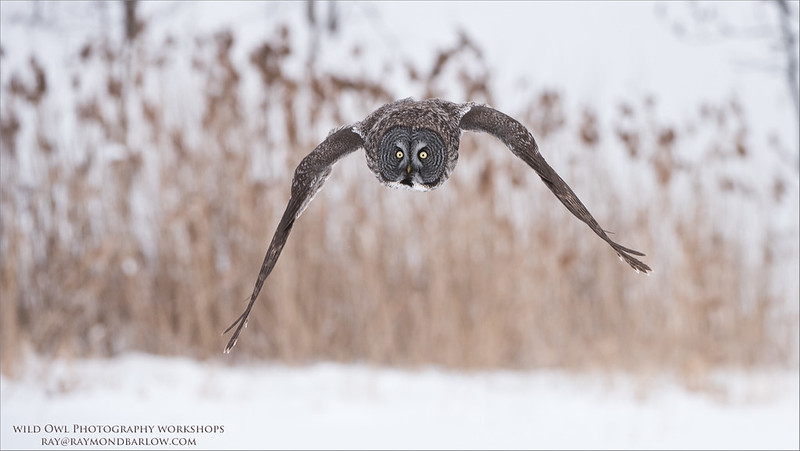 Incoming Great Grey Owl<br /> Raymond's Canada Nature Photography Tours<br /> <br /> ray@raymondbarlow.com<br /> <br /> No bait used to create this image.<br /> Nikon D810 ,Nikkor 200-400mm f/4G ED-IF AF-S VR<br /> 1/2000s f/5.6 at 300.0mm iso1250