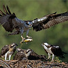 Dinner delivery!  <br /> <br /> Adult male bringing home the food.<br /> Eastern Ontario Osprey nest.<br /> <br /> All real nature, no bait. <br /> <br />  New workshops... email me.<br /> <br /> raymondjbarlow@yahoo.ca
