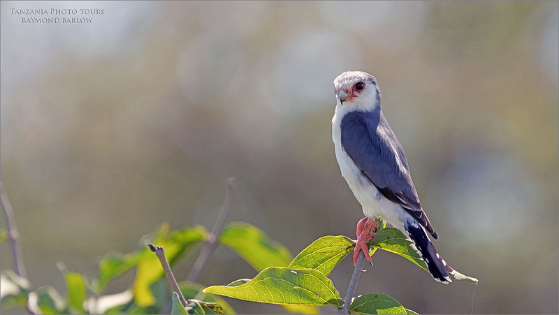 Pygmy falcon hunting.<br /> <br /> Love Africa<br /> <br /> Please join me - Florida, India, Ecuador, Costa Rica, Newfoundland, Tanzania, Long Island, Ontario, Philippines, or choose a destination, and we will make it happen for you!<br /> <br /> Thanks for looking., raymond