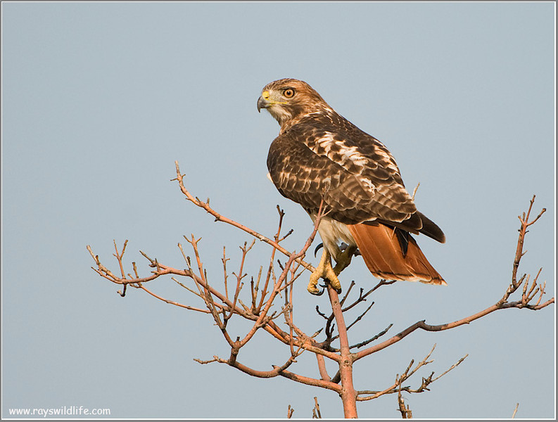 Redt-tailed Hawk 4
