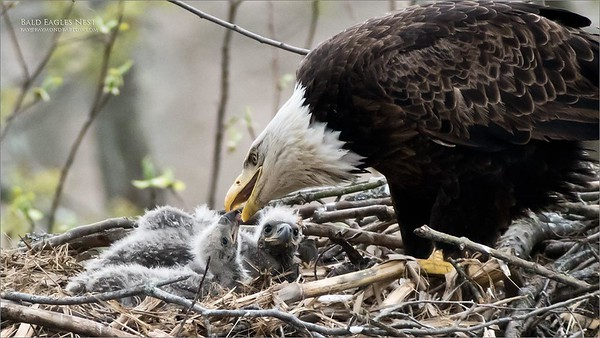 Female adult Eagle feeding her chicks.  Taken in very low light with the Swarovski scope from about 80 yards. D850 in full frame FX Mode and a very heavy crop.   Bald Eagles Nest Raymond Barlow USA - Wildlife and Nature  ray@raymondbarlow.com Nikon D850 ,Swarovski Spotting Scope - 95mm Optic 1/500s iso1600 f8.4