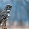 Great grey<br /> <br /> Hunting for some late pm snacks.<br /> Southern Ontario.
