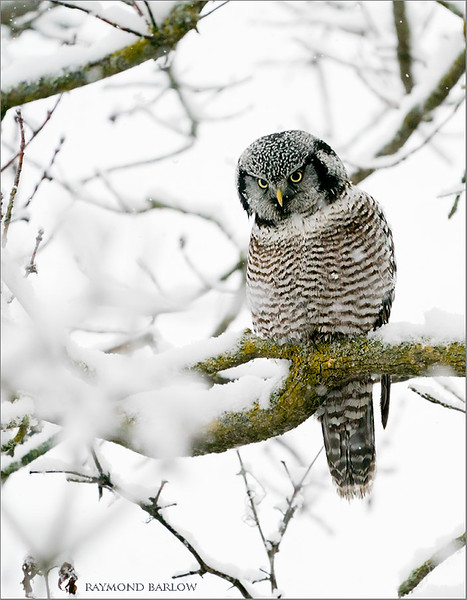 "A snowy rainy day today, but a fun trip north to visit the bird of the year for us!  Hope to go back on Monday!<br /> <br /> Thanks to my sweet Maria for another great day outdoors!<br /> <br /> What a beauty!<br /> <br /> Northern Hawk owl<br /> Ontario, Canada<br /> <br />  <a href=""http://www.raymondbarlow.com"">http://www.raymondbarlow.com</a><br /> Sony Alpha A9,Sony 100-400GM<br /> 1/1600s f/5.6 at 400.0mm iso3200"