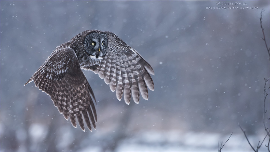 Great Grey Owl in Flight<br /> Raymond's Canada Nature Photography Tours<br /> <br /> Thanks Chuck!<br /> Nikon D810 ,Nikkor 200-400mm f/4G ED-IF AF-S VR<br /> 1/800s f/5.0 at 400.0mm iso1600