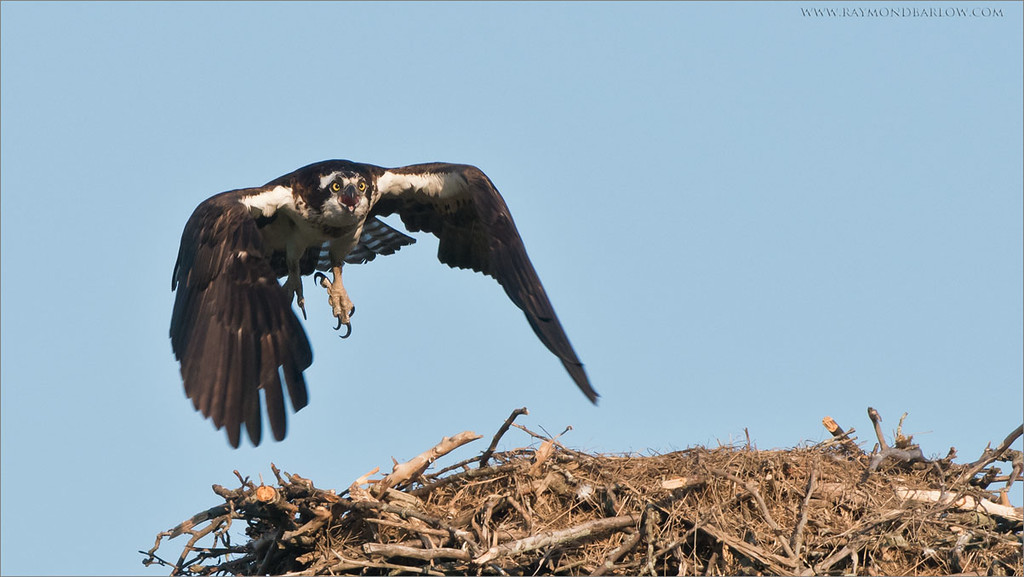 Osprey Lift Off<br /> Raymond's Ontario Nature Photography Tours<br /> <br /> ray@raymondbarlow.com<br /> <br /> Join me for some local Ontario Photography!<br /> Nikon D810 ,Nikkor 200-400mm f/4G ED-IF AF-S VR<br /> 1/1600s f/6.3 at 400.0mm iso1250