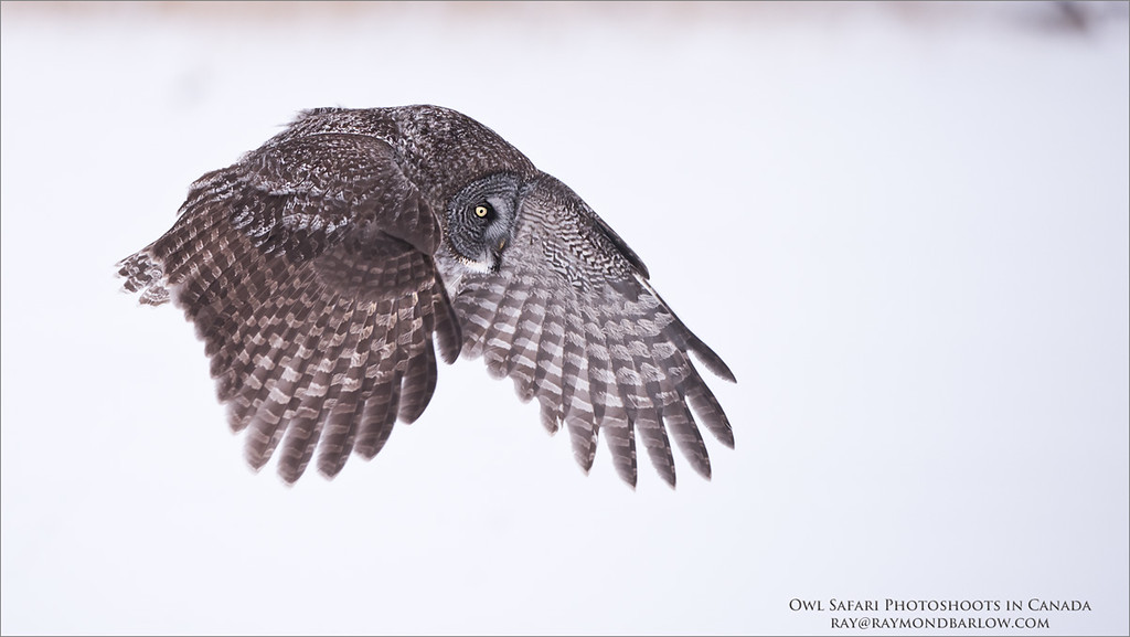 """Great Grey Owl Hunting for Natural Prey - No Bait<br /> Raymond's Canada Nature Photography Tours<br /> <br />  <a href=""""http://www.raymondbarlow.com"""">http://www.raymondbarlow.com</a><br /> Nikon D810 ,Nikkor 200-400mm f/4G ED-IF AF-S VR<br /> 1/2000s f/4.0 at 280.0mm iso800"""