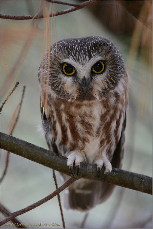 """Probably the Cutest Bird we have in Ontario!<br /> <br /> Taking a group out for wild owl shooting is more then challenging.<br /> Do we find one? or strike out?  It is a bit of a gamble with nature.  Good fun though!<br /> <br /> I will be back out there looking for this one soon, as my daughter want a shot badly!  (maybe I can get some dishes washed today for favors rendered!)<br /> <br /> Have a great week!  Thanks for looking and sharing, very much appreciated.<br /> <br /> Please respect nature!<br /> <br /> <br /> <br /> Saw-whet Owl<br /> RJB Wild Birds of Ontario Workshops<br />  <a href=""""http://www.raymondbarlow.com"""">http://www.raymondbarlow.com</a><br /> 1/15s f/4.0 at 360.0mm iso1000"""