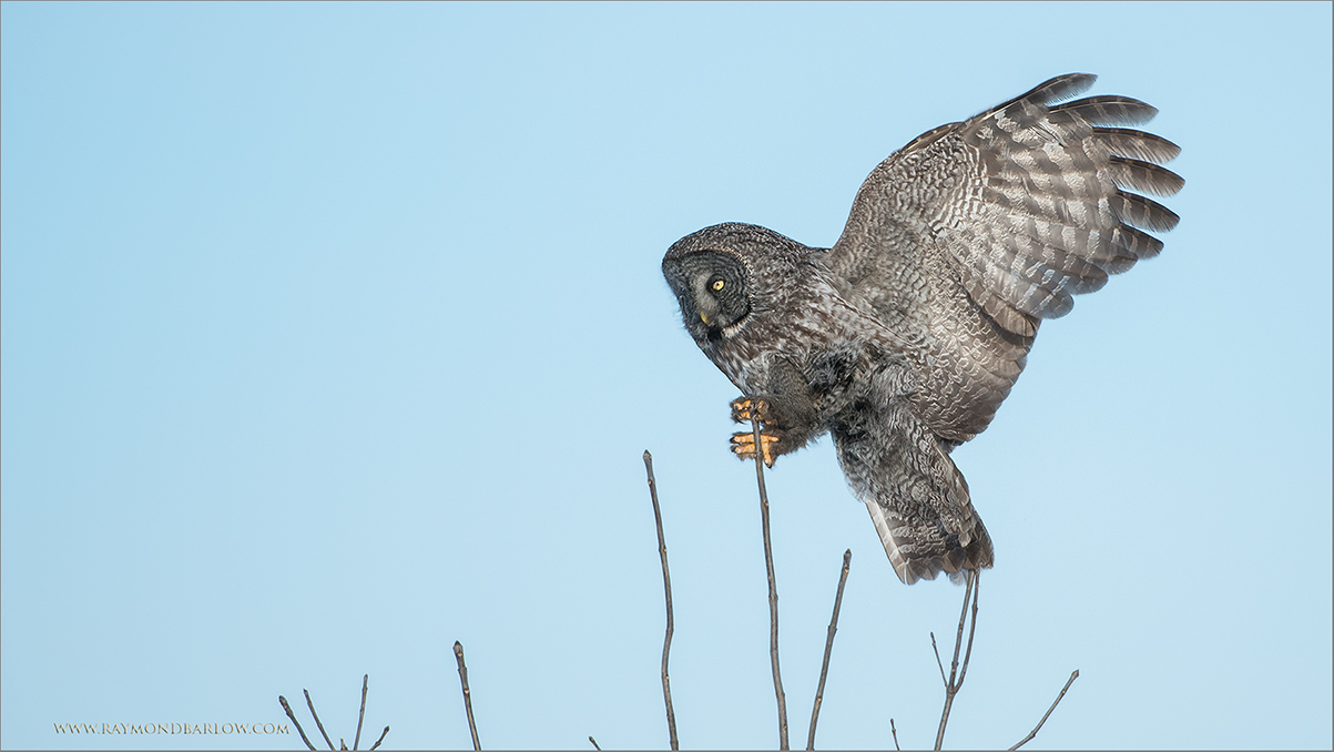 Great Gray Owl Incoming<br /> RJB Wild Birds of Ontario Workshops<br /> <br /> ray@raymondbarlow.com<br /> No bait used<br /> Nikon D800 ,Nikkor 200-400mm f/4G ED-IF AF-S VR<br /> 1/1600s f/4.0 at 380.0mm iso400
