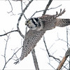 """Another interesting day with the Hawk Owl, unfortunately we didn't get a good angle for a background today, so blah white sky behind the bird.<br /> <br /> next time!<br /> <br /> Northern Hawk Owl in flight!<br /> Ontario, Canada<br /> <br />  <a href=""""http://www.raymondbarlow.com"""">http://www.raymondbarlow.com</a><br /> Sony Alpha α9 ,Sony 100-400GM<br /> 1/4000s f/5.6 at 400.0mm iso4000"""