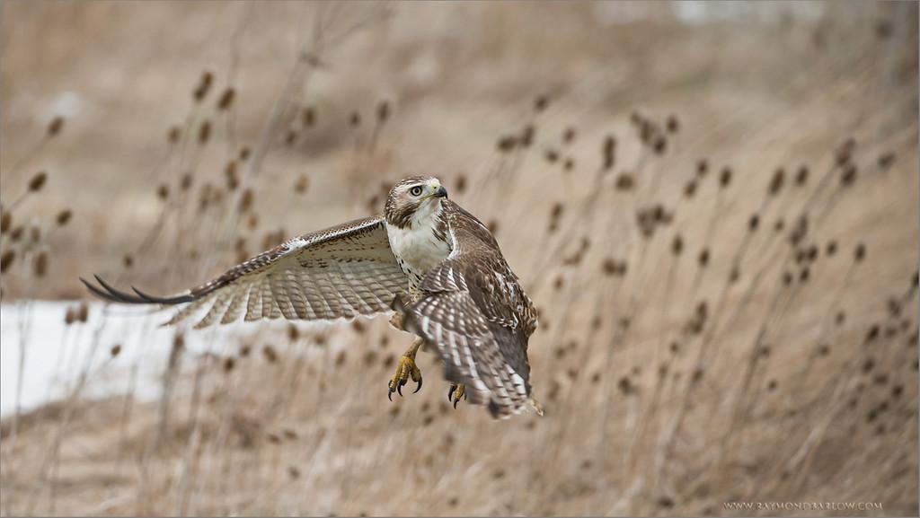 Red-tailed Hawk - Lift Off<br /> RJB Wild Birds of Ontario Workshops<br /> ray@raymondbarlow.com<br /> Nikon D800 <br /> Nikkor 200-400mm f/4G ED-IF AF-S VR<br /> 1/800s f/4.0 at 310.0mm iso800