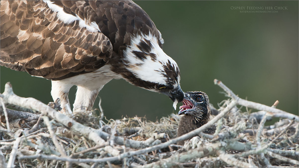 Real Nature in Florida<br /> <br /> Osprey feeding a brand new chick!<br /> Love nature and wildlife in Florida.<br /> <br /> Osprey Feeding Chick<br /> Raymond Barlow Photo Tours to USA - Wildlife and Nature<br /> <br /> ray@raymondbarlow.com<br /> Nikon D850 ,Nikkor 200-400mm f/4G ED-IF AF-S VR<br /> 1/250s f/5.0 at 400.0mm iso400