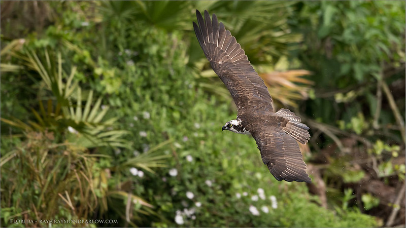 Osprey in Flight - Florida<br /> Raymond Barlow Photo Tours to USA - Wildlife and Nature<br /> <br /> ray@raymondbarlow.com<br /> Nikon D810 ,Nikkor 600 mm f/4 ED<br /> 1/2500s f/4.5 at 600.0mm iso1000