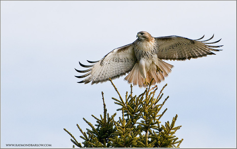 Red-tailed in flight