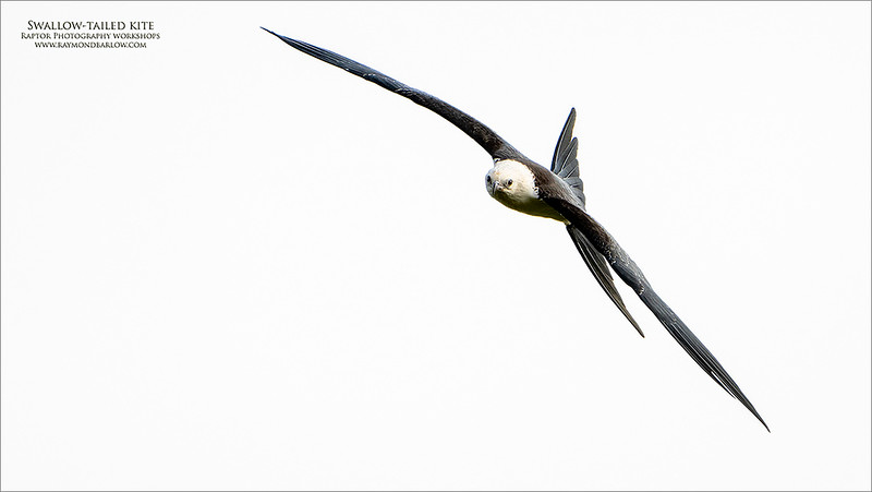 Swallow-tailed kite<br /> <br /> High key images are not my favourite, bur the pose with this image looked cool, so I thought I would give it a try.  The eye contact helps this image a lot.<br /> <br /> With the A7r4, the details are nice, but the ISO setting at 1250 was too high.  A huge crop didn't help either!<br /> <br /> Regardless, a cool species, superb looking raptor for sure!<br /> <br /> I appreciate your views, thanks for having a look.<br /> <br /> Take care.
