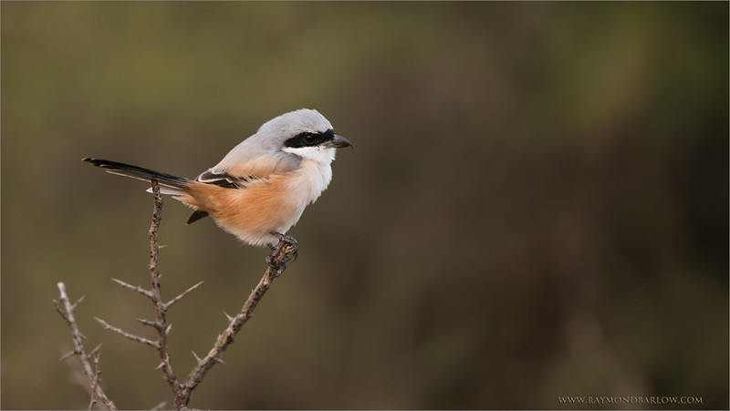 Long Tailed Shrike in India <br /> RJB India Photo Tours<br /> <br /> ray@raymondbarlow.com<br /> 1/320s f/4.0 at 400.0mm iso1000