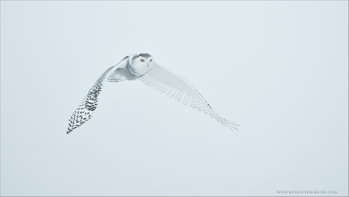 Snowy Owl in Flight<br /> RJB Wild Birds of Ontario Workshops<br /> ray@raymondbarlow.com<br /> Nikon D800 ,Nikkor 200-400mm f/4G ED-IF AF-S VR<br /> 1/2000s f/4.0 at 400.0mm iso1000