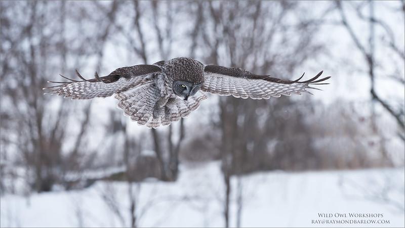 DSC_0287 Great Grey Owl Hunting 1200 web
