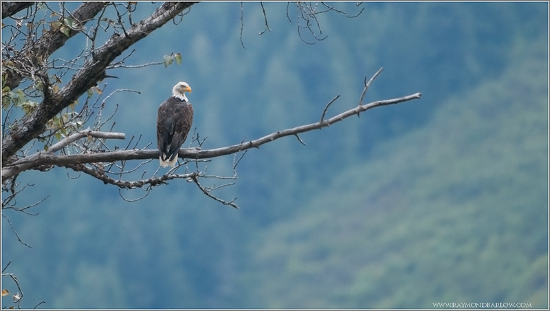 Bella Coola Bald Eagle