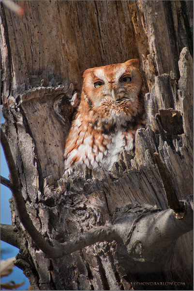 Eastern Screech Owl RJB Wild Birds of Ontario Workshops Canon EOS 70D Swarovski Telescope STX 30 x 95mm - 1350 mm 1/200s f9.5 iso200