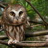 Taken a long time ago, this tiny beauty was so sweet, and posed for us with no issues at all!  Maria was only 4, and she found two other owls nearby!<br /> <br /> Another lucky day in the woods.